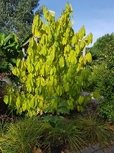 Future Exotics Asimina triloba Indianer Banane Paw Paw frosthart bis minus 25 Grad
