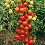 Tomato Plants - 'Moneymaker' - 12 x Plug Plant Pack