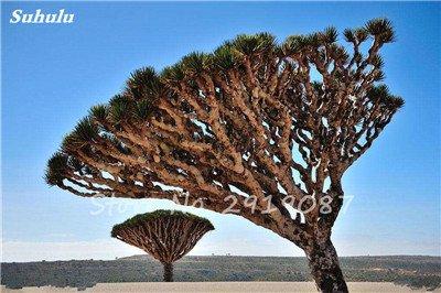 Livraison gratuite 10 Pcs rares Dracaena arbre alpiste Tree Island Sang (Dracaena draco) voyantes, Jardin des plantes exotiques 7 Diy
