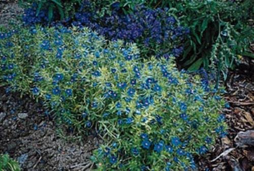 Anagallis Blue Light Annual Seeds