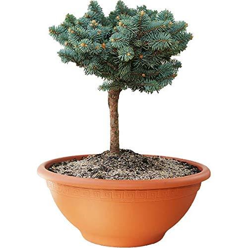 Mammutgarten Picea Zwerg Fichte Blau -...