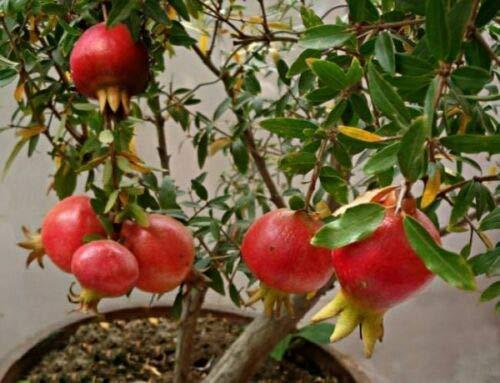 Melograno Wonderful piante a cespuglio di 2 anni in vaso ø16 cm h.1 mt