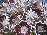 Kalmia latifolia Mitternacht - Berglorbeer Mitternacht