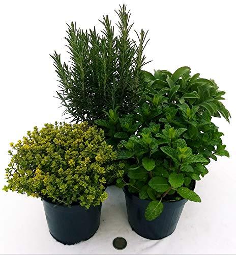 4 AROMATICHE BIO: ROSMARINO, MENTA MOJTO, SALVIA, TIMO LIMONE, piante vere