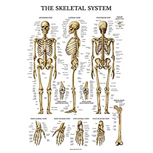 Skeletal System Anatomical Chart – LAMINATED – Human Skeleton Anatomy Poster – Double Sided (18 x 27)