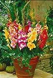 Tomasa Samenhaus- 100 Stück Riesen Gladiole Blumensamen Gladiolen Mischung Blumensamen Saatgut winterhart mehrjährig Zierblumen für Balkon, Garten