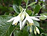 Styrax Officinalis (5 Seeds) La restituzione della merce non è disponibile Vendiamo solo semi Spediamo a livello internazionale
