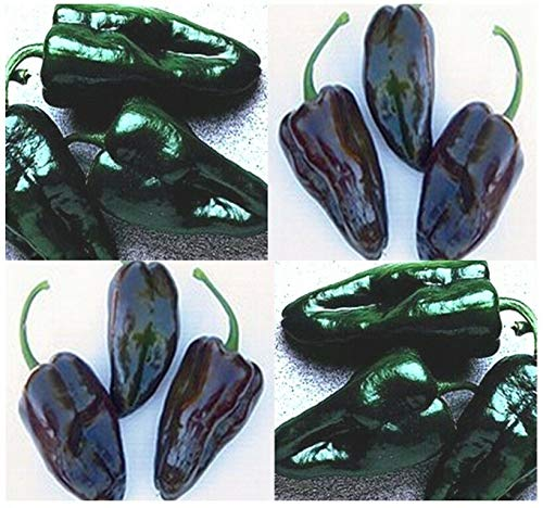 MULATO ISLENO Pepper ~ HOT Pepper Seeds poblano Type ~ Roast Stuffing MILD - 85