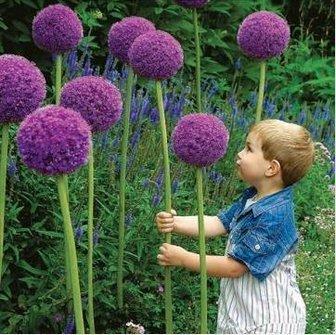 sellify 20pcs Allium Giganteum Graines de Purple plante DIY jardin par Lovestore2555