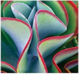 BULK x Kalanchoe Thyrsiflora - EXOTIC RARE - xeriscaping mesembs succulents SEEDS - AKA Paddle Plant, Flapjacks, Desert Cabbage, White Lady, Geelplakkie, Meelplakkie, Plakkie - By MySeeds.Co (0015 Seeds - 15 Seeds)