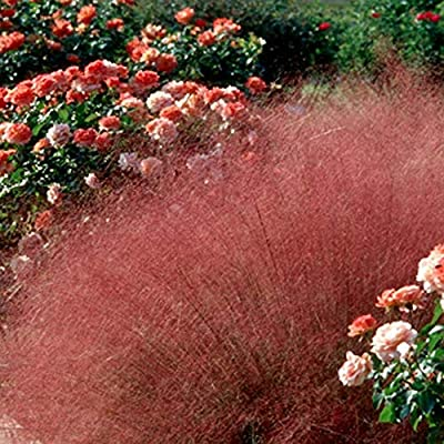 Outsidepride Purple Muhly Grass