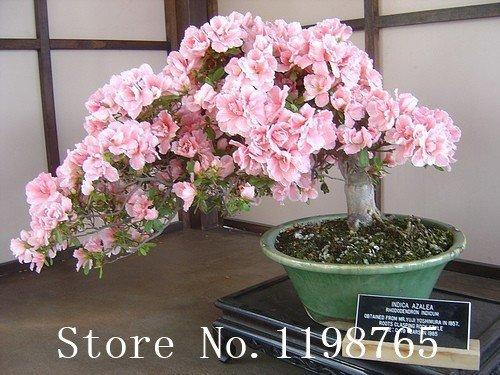 Japonais graines Sakura fleur 10pcs / lot de fleurs de cerisier Sakura Graines Bonsai arbre Graines 6 Couleur Rouge cerise