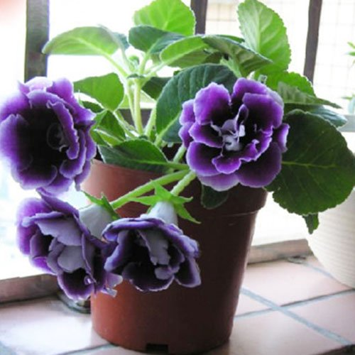 Semi Gloxinia (Mixing) Vaso di fiori Fioriere giardino bonsai seme di fiore 100 particelle / lot