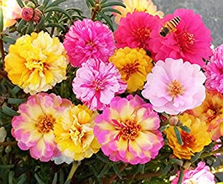 Mixed Color Moss-Rose Purslane Double Flower Seeds 100+ Portulaca grandiflora Moss Rose Ground Cover Plant Seed