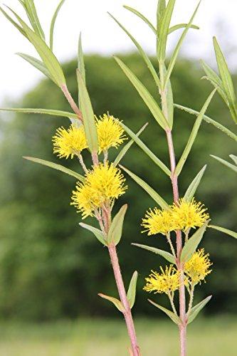Wasserpflanzen Wolff - winterhart - Lysimachia thyrsiflora - Straußgoldfelberich, gelb