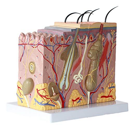 N \ A Hautmodell, 50-Fach Vergrößertes Anatomisches Modell Anatomie Für Naturwissenschaftliche Unterrichtsstudien Anzeige Medizinisches Modell