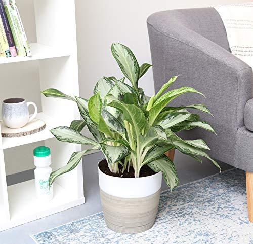 哥斯达农场中国常绿aglaonema室内植物在装饰播种机,2英尺高,白自然