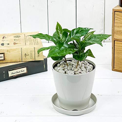 観葉植物 コーヒーノキ アラビカ 3.5号鉢 受け皿付き 育て方説明書付き Coffea arabica コーヒーの木 珈琲の木 アラビカコーヒー