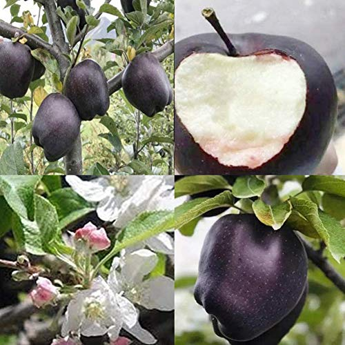 sudalv1971 150 Piezas De Semillas De Manzana De Piel Negra / 100 Piezas De Mini Semillas De Sandía Cucamelon Delicious Fruit Plant Delicious Bonsai Home Garden Decor Semillas de Manzana