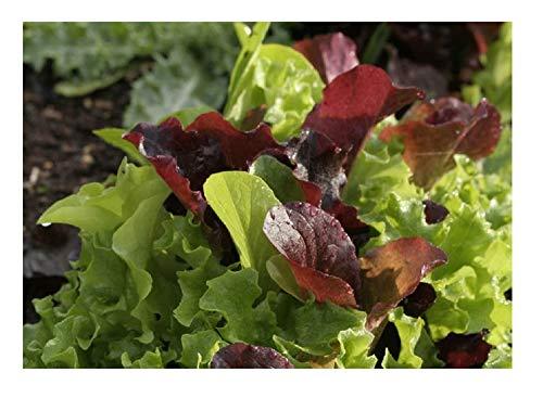 David's Garden Seeds Lettuce Mix Encore SAL2369QC (Multi) 200 Non-GMO, Open Pollinated Seeds