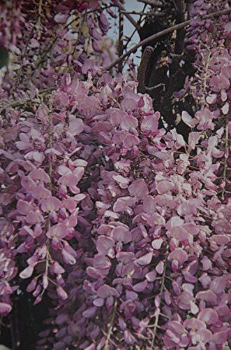 Japanischer Blauregen Rosea