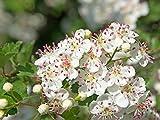 Hahnensporn Weißdorn Crataegus crus-galli 25 Samen