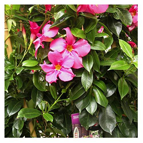 1x Dipladenia Mandevilla/Chilenischer Jasmin - ROSA - in tollen unterschiedlichen bunten Farben - circa 50 bis 60cm / bunt blühende Kletterpflanze - Pflegeleicht