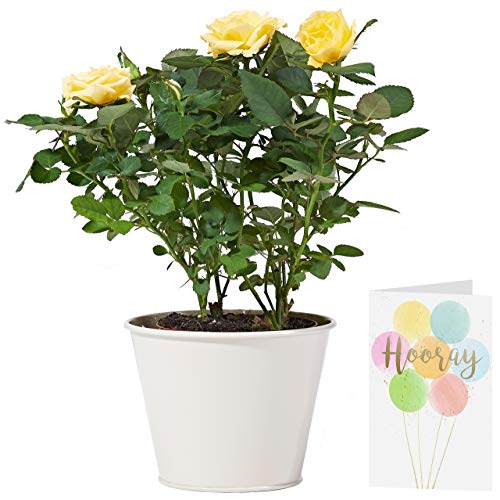 Yellow Potted Rose Plant Delivered   Free UK Delivery   Pot Included   Personalised Card & Message   Our Potted Yellow Roses are The Perfect Indoor House Plant   an Ideal Fresh Flower Gift for Women
