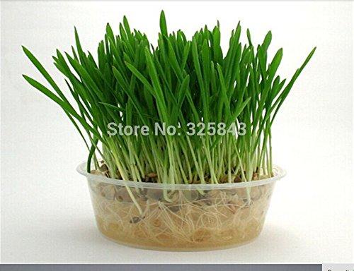 blé Semences biologiques herbe, pot graines chat herbe, comestibles naturels chat herbe semences exempt de pollution - 220 particules de semences