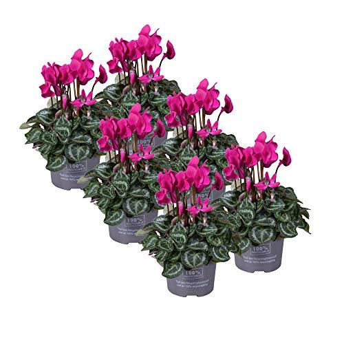 MoreLIPS® - Alpenveilchen - Set bestehend aus 6 Pflanzen - Farbe: Weiß - silbriges Laub - Höhe 25-30 cm - Durchmesser: 10,5 cm - Your Green Present