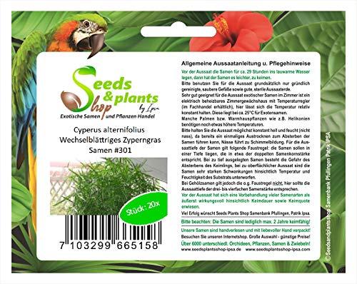 Stk - 20x Cyperus alternifolius Wechselblättriges Zyperngras Samen #301 - Seeds Plants Shop Samenbank Pfullingen Patrik Ipsa