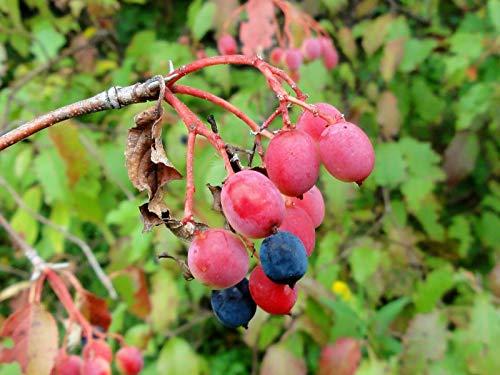 Nannyberry Sweet Viburnum Lentago Shrub Tree Blue Berry Fruit Flower jocad (20 Seeds)