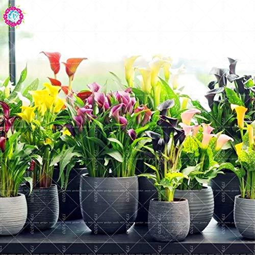 Elitely 30 Stcke Regenbogen Calla Blume Bonsai Samen Mix Coloe Indoor & Amp; Outdoor Blume Fr Hausgarten Topf Samen Zantedeschia Aeth