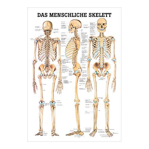 Das menschliche Skelett Poster Anatomie 70x50 cm medizinische Lehrmittel