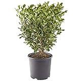 Shrub Recurvifolium Ligustrum 2.25 Gal, Green