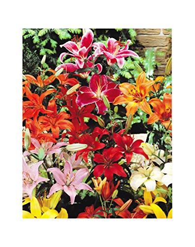 GARTHWAITE NURSERIES : - UK Stockist :: - Mixed Oriental Lily Bulbs Special Offer Colourful Garden Perennial Fantastic Deal (10)