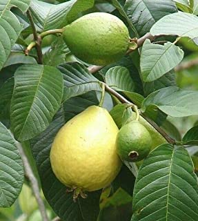 5 Red Strawberry Guava-Psidium cattleyanum-Red Strawberry Guava Seeds Seeds