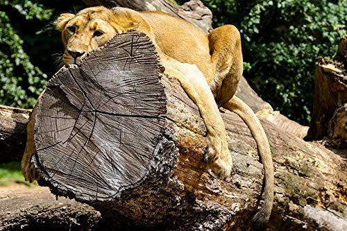 DIY Paint by Numbers, Canvas Oil Painting Kit for Kids & Adults,Drawing Paintwork with Paintbrushes, Acrylic Pigment- Lions Trunk Tree Paws Lying Down Rest Wood Log 16x20 inch with Frame