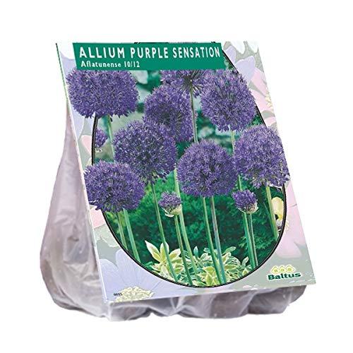 Allium Aflatunense Purple Sensation 15 Stück Blumenzwiebel