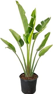 PlantVine Ravenala madagascariensis, Travelers Tree, Travelers Palm - Extra Large - 12-14 Inch Pot (7 Gallon), Live Plant