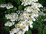 Pixies Gardens (1 Gallon) Shasta Viburnum, Gorgeous Extra Large...