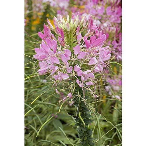 Cleome spinosa - Spinnenblume, rosa - im Topf 13 cm, in Gärtnerqualität von Blumen Eber - 13 cm