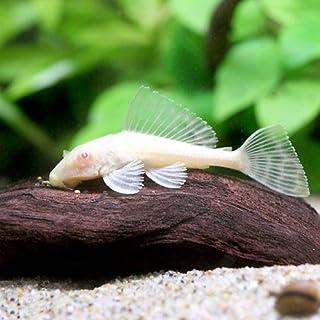 (熱帯魚)アルビノセルフィン・プレコ(3匹) 本州・四国限定[生体]