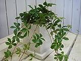 パーセノ シッサス シュガーバイン 場所取らずでちょこっと置くだけ 誕生日やプレゼント 景品にも モダン風アジアンテイスト 人気のミニ観葉植物 鉢植え