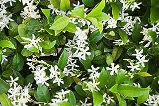 trachelospermum jasminoides madison