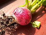 fata fiore ravanello ravanello semi verdure in vaso crescita rapida velocità 30 pz