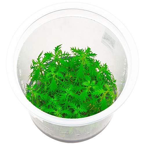 Proserpinaca Palustris in vitro Plante d'aquarium