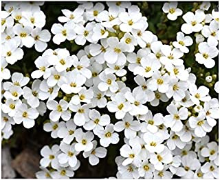 Best forget me not flowers white Reviews
