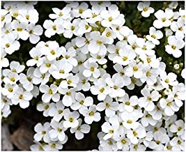 White Forget Me Not - 5000 Seeds
