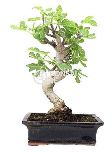 Bonsai - Higuera, 13 Años (Bonsai Sei - Ficus Carica)